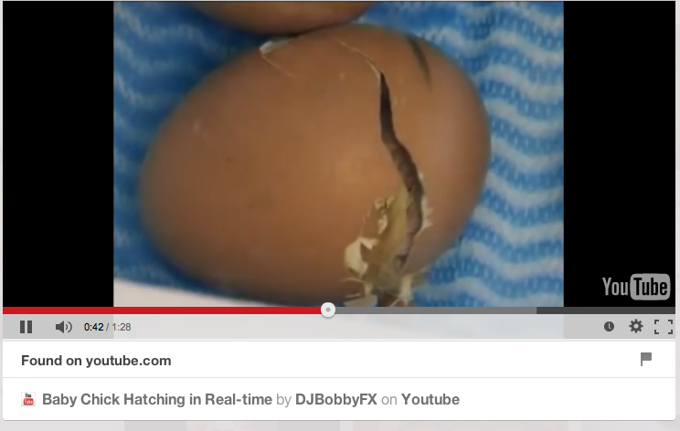 Baby Chick Hatching in Real-time