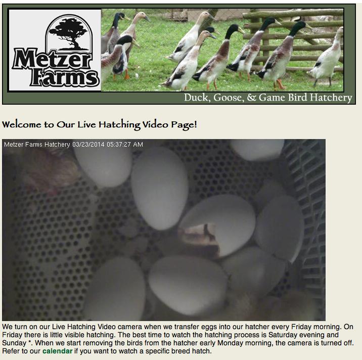 Live Hatching Video Stream
